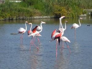 Flamingo's in de Camargue